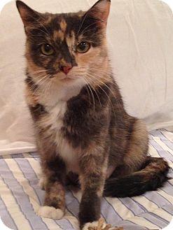 Domestic Shorthair Cat for adoption in Scottsdale, Arizona - Bell