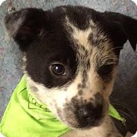 Adopt A Pet :: Wade - Albany, NY