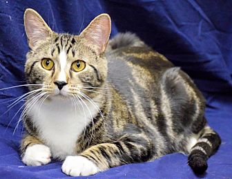 Domestic Shorthair Cat for adoption in Edmond, Oklahoma - Winky