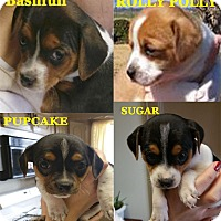 Adopt A Pet :: Beagle Pups - Preston, CT