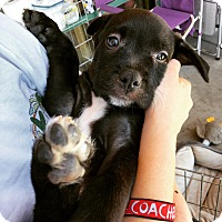 Adopt A Pet :: Superhero Puppies - La Quinta, CA