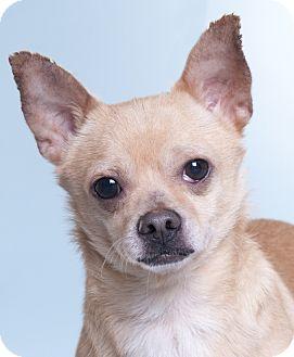 Chihuahua Dog for adoption in Chicago, Illinois - Deljo