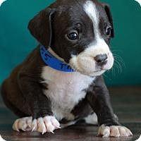 Adopt A Pet :: Trevor - Waldorf, MD