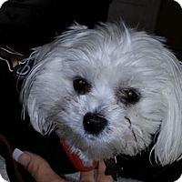 Adopt A Pet :: Troy - San Dimas, CA