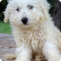 Adopt A Pet :: Desire' - Waldorf, MD