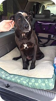 Labrador Retriever/Pit Bull Terrier Mix Dog for adoption in Roslyn, Washington - Roobers