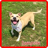 Pit Bull Terrier Dog for adoption in Jasper, Indiana - Sampson