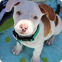 Adopt A Pet :: Casino Pup - Nugget - Adopted! - San Diego, CA