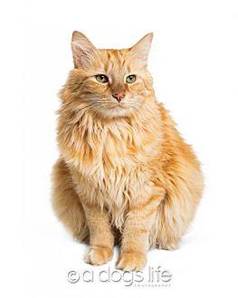 Domestic Longhair Cat for adoption in Tempe, Arizona - Sadie