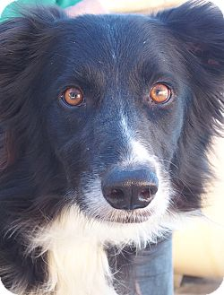 Australian Shepherd Dog for adoption in San Pedro, California - JAGGER