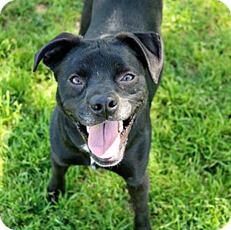 Pug Mix Dog for adoption in Killeen, Texas - Fidget