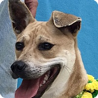 Boxer/Labrador Retriever Mix Dog for adoption in Evansville, Indiana - Remi