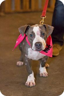 American Pit Bull Terrier Mix Puppy for adoption in Dallas, Texas - Chester III