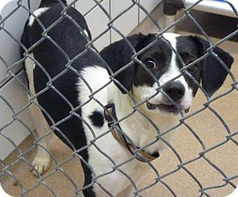 Labrador Retriever Mix Dog for adoption in Zanesville, Ohio - 47774 Cell Dog Helena