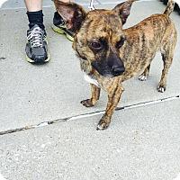Adopt A Pet :: Doc - ST LOUIS, MO