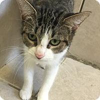 Domestic Shorthair Cat for adoption in Elliot Lake, Ontario - Lux