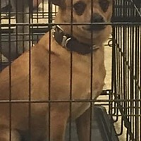 Chihuahua Mix Dog for adoption in Odessa, Texas - Milo