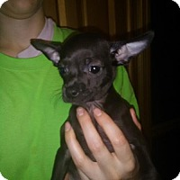 Chihuahua Puppy for adoption in Orlando, Florida - Ava East Orlando
