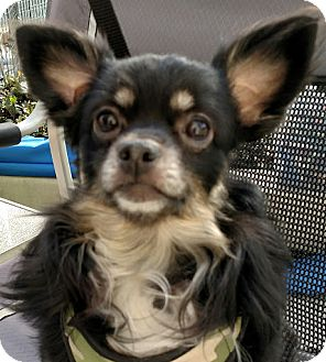 Chihuahua Mix Dog for adoption in San Diego, California - Brady