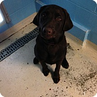 Labrador Retriever Puppy for adoption in Bowie, Maryland - Lemmy