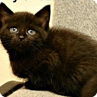 Adopt A Pet :: Black Kittens - Richland Hills, TX