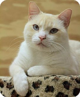 Siamese Cat for adoption in Hammond, Louisiana - Trouble