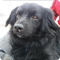 Adopt A Pet :: Oliver - Norman, OK
