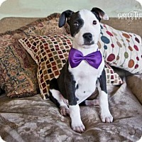 Adopt A Pet :: Cliff - Pearland, TX