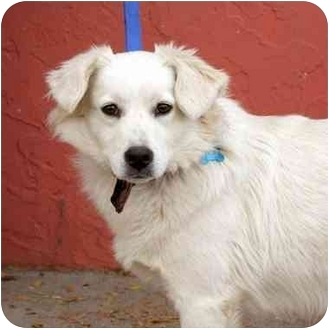 Australian Shepherd American Eskimo Dog Mix Dog for adoption in Denver    Australian Eskimo