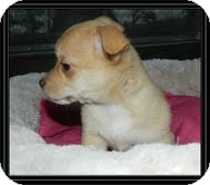 Chihuahua Mix Puppy for adoption in Hagerstown, Maryland - Tippy