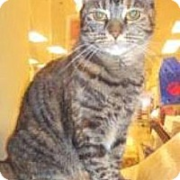 Domestic Shorthair Cat for adoption in Miami, Florida - Amber