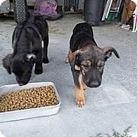 Adopt A Pet :: Missy - Chewelah, WA