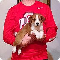 Adopt A Pet :: Duke - Lakewood, OH