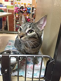 Domestic Shorthair Cat for adoption in Morganton, North Carolina - Paris