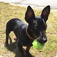 Adopt A Pet :: Mozart - Los Angeles, CA