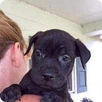 Adopt A Pet :: Cava - Barnegat, NJ