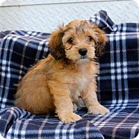 Adopt A Pet :: Igglybuff - Los Angeles, CA