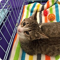 Domestic Mediumhair Cat for adoption in Mansfield, Texas - Tokki