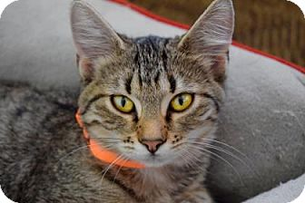 Domestic Shorthair Kitten for adoption in Wichita, Kansas - Allie