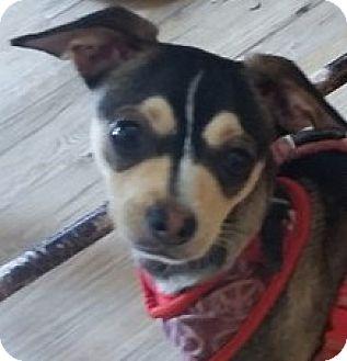 Chihuahua Puppy for adoption in Newnan, Georgia - Paco