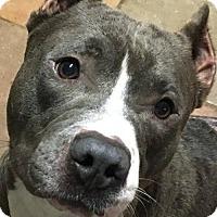 Pit Bull Terrier Dog for adoption in Kansas City, Missouri - Spirit