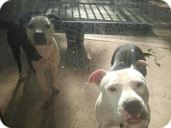 Pit Bull Terrier Mix Dog for adoption in Baltimore, Maryland - Nina and Riley - COURTESY POST