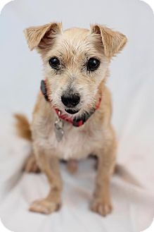Terrier (Unknown Type, Medium) Mix Dog for adoption in Sherman Oaks, California - Dash