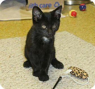 Domestic Shorthair Kitten for adoption in Denver, Colorado - Blackjack