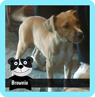 American Pit Bull Terrier Mix Puppy for adoption in Des Moines, Iowa - Brownie puppy
