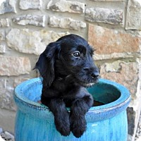 Adopt A Pet :: Cookie - Von Ormy, TX
