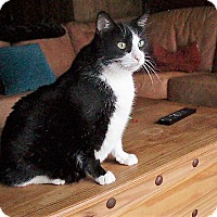 Adopt A Pet :: Oreo *declawed* - Toronto, ON