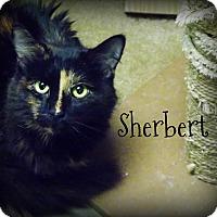Adopt A Pet :: Sherbert - Defiance, OH