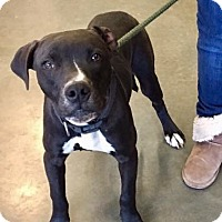 Labrador Retriever Mix Dog for adoption in Springfield, Massachusetts - Fisher-ADOPTED