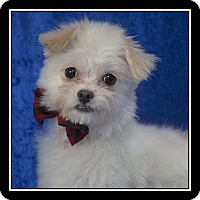 maltese rescue san diego san diego ca maltese pomeranian mix meet michael a dog 7930